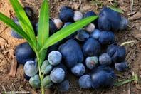 illawara-plum.jpg